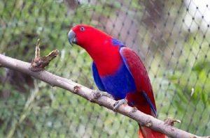 Cara Budidaya Burung Nuri Merah
