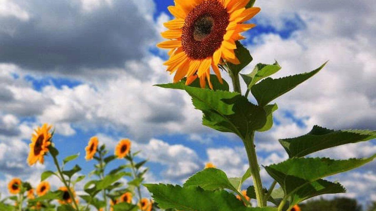 9 Cara Merawat Bunga Matahari Agar Cepat Berbunga Ilmubudidaya Com