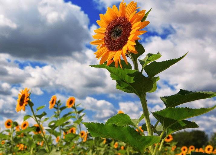 Mengapa Bunga Matahari Selalu Menghadap Ke Arah Matahari Ilmubudidaya Com
