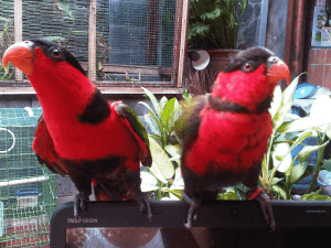 Budidaya Burung Nuri Merah
