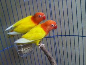 Cara budidaya burung lovebird Lutino menjadi topik yang akan dibahas pada kesempatan kali ini. Kepopuleran burung lovebird sebagai salah satu burung kicau yang jadi primadona dikalangan pecinta burung kicau, bukan hanya karena kicauannya yang khas namun juga penampakan visusl burung yang satu ini juga amat memikat. Dari berbagai jenis lovebird yang ada jenis lovebird lutino, yang menjadi favorit banyak pecinta burung kicau. Alasannya tidak lain adalah karena suara kicau lovebird lutino lebih menarik dan unik serta juga warna bulunya yang mencolok, sehingga kombinasi antar keduannya menjadi sangat sinkron dan indah di pandang mata. Pesona inilah yang kemudian membuat harga burung lovebird lutini relatif lebih mahal dikelasnya dibanding jenis lovebird lainnya. Namun ini bukanlah menjadi penghalang bagi para pecinta yang memang sudah hobi dan menyukai lovebird lutino. Bagi mereka harga yang di tawarkan sebanding dengan kualitas yang akan diperoleh. Nah, tentu saja hal inilah yang dapat menjadi sebuah peluang, bagaimana tidak meskipun harganya bisa dibilang tidak ramah dikantong, namun permintaan akan lovebird lutino cukup tinggi dipasaran. Tentunya hal ini menjadi sebuah peluang yang potensial, terutama bagi anda yang melirik usaha budidaya burung kicau. Jika ditinjau dari aspek bisnis pastinya budidaya burung lovebird lutino bukan hanya potensial namun juga amat menjanjikan dan dapat mendatangkan pundi pundi yang tidak sedikit. Disisi lain, budidaya sendiri merupakan proses memperbanyak keturuna dengan maksud agar satwa yang berada di alam tidak mengalami kepunahan. Tentunya tetap diperlukan pengetahuan serta juga kemampuan yang mumpuni. Bagi anda yang tertarik untuk mencoba sistem budidaya ini maka dapat memperhatikan 7 cara budidaya burung lovebird lutino berikut ini : 1. Persiapan Kandang Dalam budidaya burung kicau pada umumnya, termasuk juga lovebird lutino yang harus dipersiapkan pada tahap awal budidaya adalah kandang. Kandang sendiri merupakan sarana dan prasa