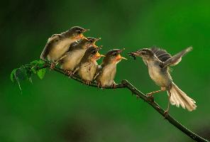 Cara Budidaya Burung Ciblek Gunung