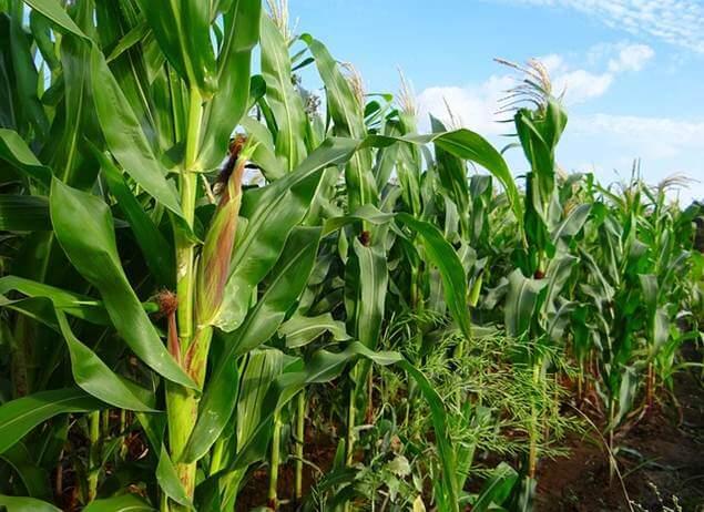 Manfaat tongkol jagung