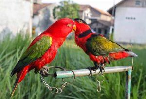 Cara Budidaya Burung Nuri Bayan