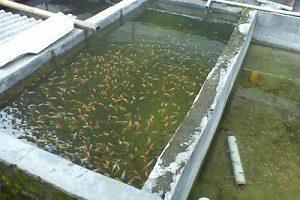 teknik budidaya pembesaran ikan konsumsi agar hasil panen