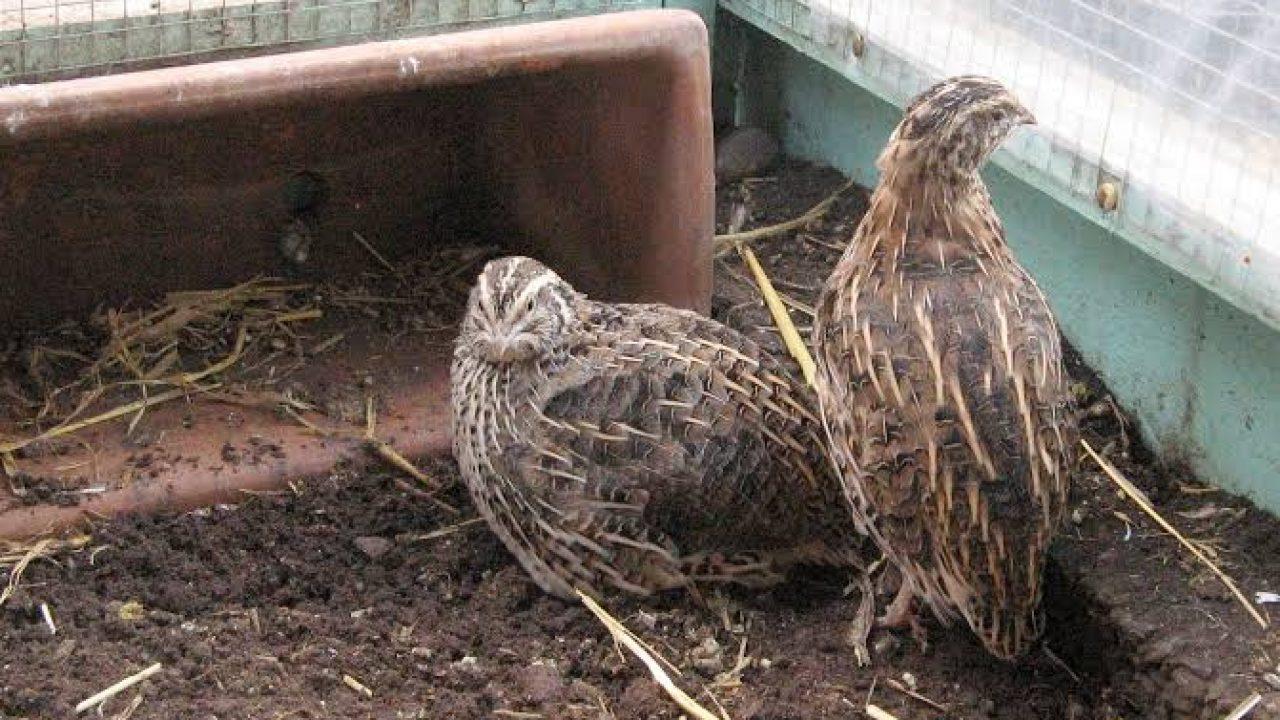 Cara Budidaya Burung Puyuh Hutan Bagi Pemula Tips Perawatan Ilmubudidaya Com