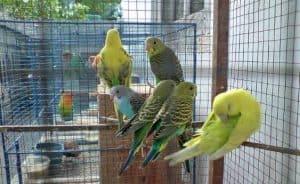 Cara Budidaya Burung Falk