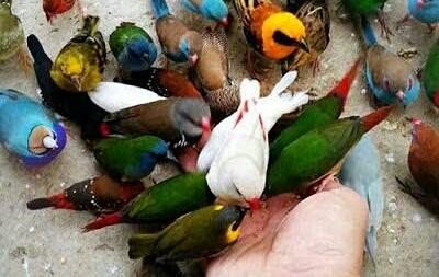 Cara Budidaya Burung Finch Perawatan Pemilihan Induk Ilmubudidaya Com