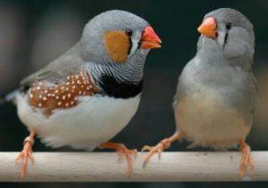 Cara Budidaya Burung Finch