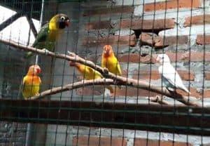 Cara Budidaya Burung Lovebird Koloni