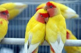 Cara Buddiaya Burung Lovebird Lutino
