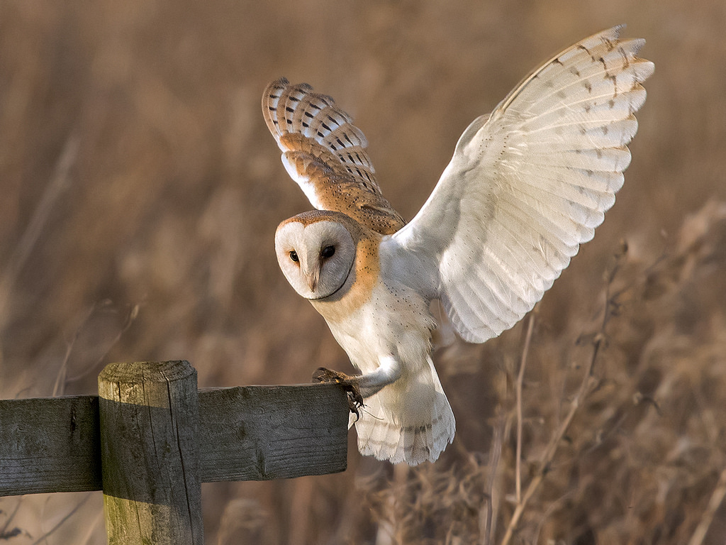 Cara Budidaya Burung Hantu Tyto Alba Bagi Pemula Ilmubudidaya Com