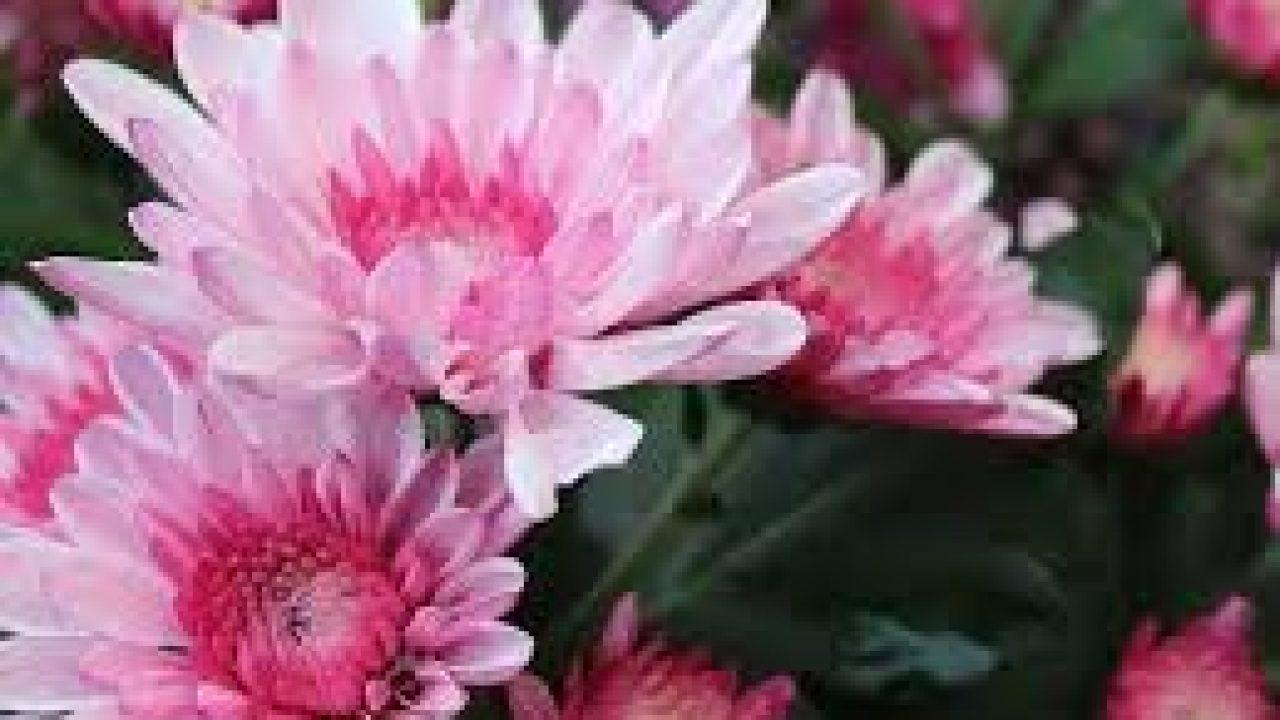 Inilah Cara Agar Bunga Seruni Cepat Berbunga Ilmubudidaya Com