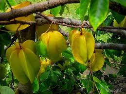 cara agar bunga belimbing jadi buah