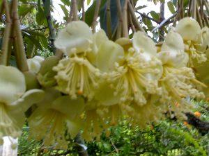 Cara agar bunga durian gak rontok