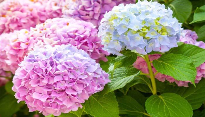 Tips Dan Trik Agar Bunga Hortensia Cepat Berbunga Dan Mekar Terus Ilmubudidaya Com