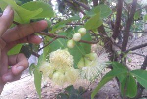 cara merawat bunga jambu kristal agar tidak rontok