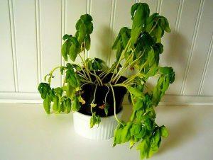 kenapa tanaman layu bila kekurangan air