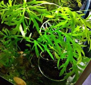 water wisteria