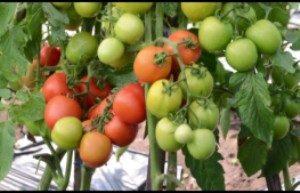 cara menanam tomat lumina F1