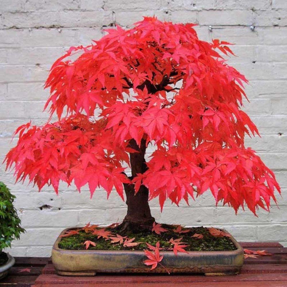 Cara Menanam Biji Red Maple