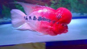 Cara Memilih Bibit Ikan Louhan Yang Bagus Untuk Budidaya Ilmubudidaya Com