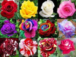 2 Alasan Kenapa Bunga Mawar Tidak Wangi Cara Perawatan Bunga Yang Benar Ilmubudidaya Com