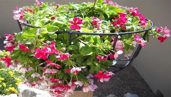 Cara Merawat Bunga Vinca Yang Layu Agar Segar Lagi Ilmubudidaya Com
