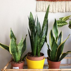 Bunga yang Bagus untuk Ditanam di Dalam Rumah dan Cara Perawatan Mudah