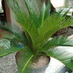 Tanaman Hias Palem Chamaedorea