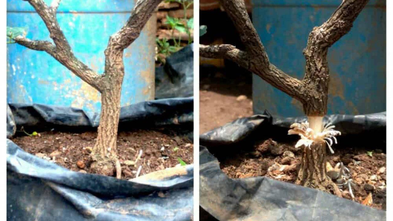 cara stek pohon asam jawa hasil panen