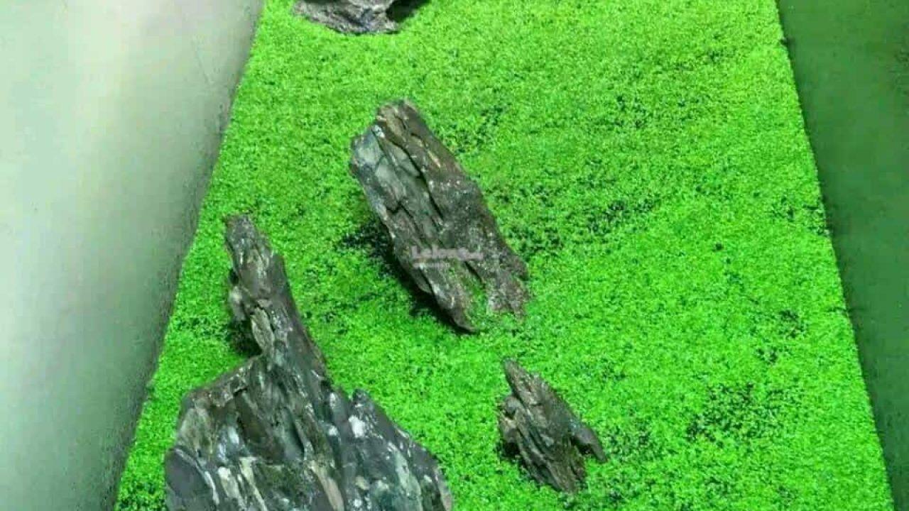 Benih Tanaman Karpet Aquascape - BENIH TOKO