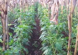 Cara menanam Cabe di Bawah Jagung