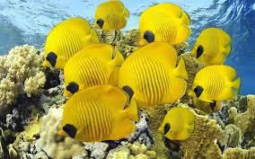 Cara Budidaya Ikan Butterfly Fish